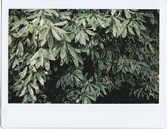 Pittosporum green leaves (Matthew Paul Argall) Tags: instaxwide instax210 instantfilm instax leaves leaf green pittosporum