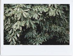 Pittosporum green leaves (Matthew Paul Argall) Tags: instaxwide instax210 instantfilm instax leaves leaf green pittosporum