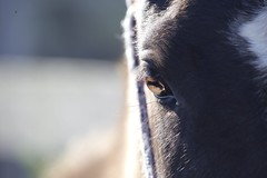 Horse-00003 (Rknebel) Tags: horse cavalocrioulo