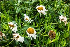 20160804-014 (sulamith.sallmann) Tags: pflanzen blume blumen flower flowers margeriten plants verblüht verwelkt frankreich fra sulamithsallmann