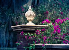 Bougainvillea (mistymorningphoto) Tags: nature photography flowers plants flower bougainvillea plant pink vintage romance