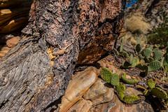 Collared lizard (Dave Chiu) Tags: zion nationalpark utah
