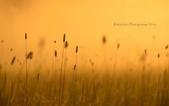 (zu) tief ins Gras geguckt ...Explore # 122 (rafischatz... www.rafischatz-photography.de) Tags: grass meadow nature sunrise goldenhour pentax k3