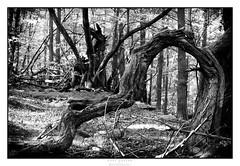 10092016 CHAMBLES (cassar_paul) Tags: bois branches arbre mort corce fort