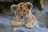 African lion cub - Olmense Zoo (Mandenno photography) Tags: dierenpark dierentuin dieren animal animals belgie belgium bigcat big cat cub lion lions leeuw lioncub leeuwtje leeuwen olmense olmensezoo olmen balen
