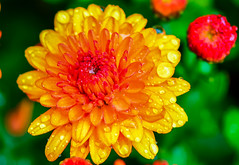 Morning Dew (jlucierphoto) Tags: autumnmumsothers2013 macro outdoor bright orange flower mums plant fall pattern autumn color dew lovelyflickr