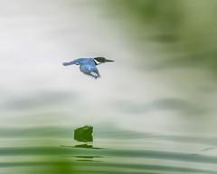 Silent Flight. (Omygodtom) Tags: outdoors bird bokeh animalplanet kingfisher animal reflection action natural nature nikon d7100 nikon70300mmvrlens vr lens flickr wild wildlife