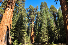 General Sherman Sequoia (AlecSkid) Tags: sequoia california san francisco tree national park general sherman