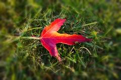 Maple - one of 1000... (nikkorglass) Tags: lumic panasonic mobile lumix lönn ginnalalönn dmccm1 leave autumn höst fall
