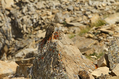 """American Pipit • <a style=""""font-size:0.8em;"""" href=""""http://www.flickr.com/photos/63501323@N07/7890535458/"""" target=""""_blank"""">View on Flickr</a>"""