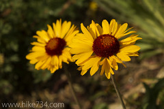 """Brown-Eyed Daisy • <a style=""""font-size:0.8em;"""" href=""""http://www.flickr.com/photos/63501323@N07/7890581214/"""" target=""""_blank"""">View on Flickr</a>"""