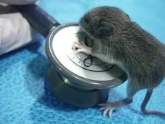 Juvenile Mouse