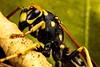 Biocontrol (Tōn) Tags: macro nature closeup insect wasp unitedstates newark animalia arthropoda hymenoptera insecta biocontrol pestcontrol apocrita tonyvanlecom