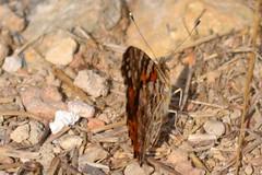Vanessa cardui (Recorte) (esta_ahi) Tags: barcelona vanessa espaa insectos fauna butterfly spain lepidoptera mariposa peneds vanessacardui papallona cardui nymphalidae nymphalinae olrdola  nymphalini
