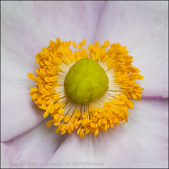 The First Of The Year (*ian*) Tags: pink flower macro nature closeup square japanese flora pistil petal anemone stamen bloom pollen favourite stigma anther japaneseanemone bigemrg
