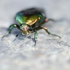 The beatle (Gilles 1972) Tags: france macro bug insect groen metallic beetle frankrijk 2012 rosechafer cetoniaaurata tamron90mm28 junikever groenekever