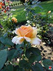Roses - Hybrid tea rose 'Tahitian Sunset' - Rosaceae SC20120826 299 (fotoproze) Tags: roses canada rose quebec montreal rosen gl rosas rozen 2012 roser    rosor mawar jardinbotaniquedemontral rsir re re  montrealbotanicalgardens trandafiri arrosak ruusut hoahng       rue    rzsk queenrose vrtnice ris  rhosynnau