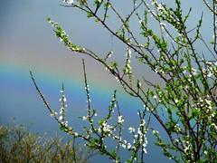 Spring blossom and rainbow (Heart felt) Tags: grass spring oscar rainbow play craft sadie rainbows streamers creativeplay