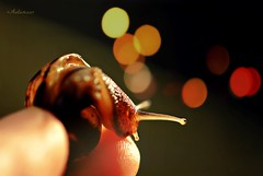 A Shy Baby Snail (<Autumnn>) Tags: light sunlight macro cute nature fun nikon bokeh fingers snail naturallight shy fingertips babysnail