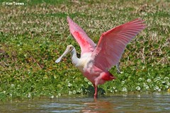 Roseate Spoonbill - Special Concern Species (Kim Toews Photography) Tags: pink light plants color colour bird nature water canon wings florida patterns wildlife fuchsia textures fl spoonbill roseate roseatespoonbill wader spoonies canon400mmf56 specialconcernspecies canont3i canonrebelt3i