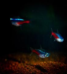 Neon tetras (Paracheirodon innesi) in black water (Peter Apas) Tags: fish aquarium amazon neon tetras neontetra ornamentalfish colorfulfish paracheirodoninnesi paracheirodon innesi rybyakwariowe neoninnesa neonek