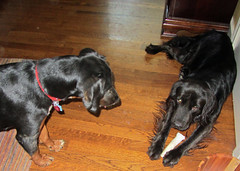 dog dogs boo layla rawhide