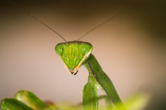 Mantis (aminefassi) Tags: life africa leica wild portrait copyright macro nature animal closeup bug mantis insect lumix still dof bokeh praying panasonic morocco  45mm mante photographe religieuse  elmarit  gottesanbeterin gx1 macrolife microfourthirds aminefassi