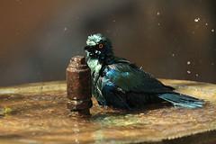 The bath (crafty1tutu (Ann)) Tags: travel holiday bird beautiful southafrica iridescent colourful krugernationalpark 2012 lowersabie anncameron glossystarling canon50d canon100400mmlens gettycontributor crafty1tutu