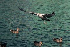 IMG_2567.jpg (Luc Deveault) Tags: canada cold bird automne quebec montreal sophie luc vieuxport oiseaux deveault lucdeveault
