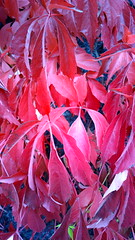 Autumn colors (Antti Tassberg) Tags: autumn red plant fall mobile leaf purple violet cellphone lila kasvi syksy lehti virginiacreeper punainen engelman ruska parthenocissusquinquefolia fivefinger engelmannii villiviini fiveleavedivy kynns n808 imukrhivilliviini pureview nokia808