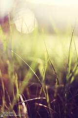 Grass (s@mar) Tags: green grass