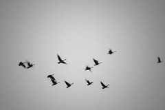 Season of Flying (Mingfong) Tags: sky bw music flying geese poetry moody random images poetic goose formation seeing memory sound even mon migration classicalmusic hearing canadageese strickerspond migratingbirds soundofsilence bwlandscape poeticlandscape moodyblackandwhiteimages soundofflying