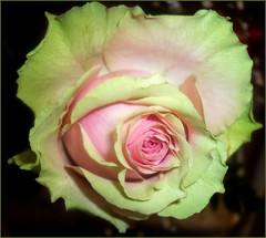 Rzsa...Green and pink... (KszegiZska) Tags: roses flower macro nature garden hungary budapest grace monaco il roseto awesomeblossoms amazingdetails hennysgardens silveramazingdetails quotprincess rememberthatmomentlevel4 rememberthatmomentlevel1 rememberthatmomentlevel2 rememberthatmomentlevel3
