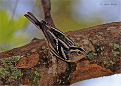 Black and White Warbler (Kevin B Photo) Tags: park morning trees wild blackandwhite plants usa plant color tree bird fall nature beautiful birds horizontal america outdoors photography one wings day alone exterior unitedstates natural feeding florida native south wing peaceful calm southern perch vegetation daytime perched fl southeast winged avian blackandwhitewarbler kevinbarry dadecounty wowiekazowie