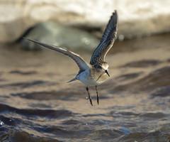 Bairds sandpiper  /Gulbröstad snäppa ( Calidris baridii) (Hans Olofsson) Tags: gulbröstadsnäppa bairdssandpiper fåglar birds flight waders shorebirds nikond600 calidrisbairdii