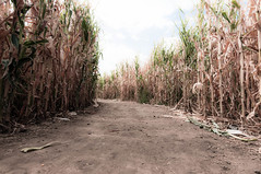 A-maze-ing (J. Paxon Reyes) Tags: gardens garden corn colorado unitedstates denver co maze botanic chatfield maize littleton