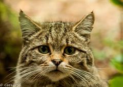 Wilde kat (3) (Caesar56) Tags: wildekat beiersewoud