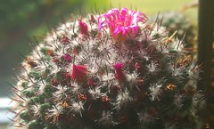 Flowering Cactus Head (CT Photography.) Tags: whinmoor leeds uk england collections flowers cacti cactus 2011 2012 biggest big buds bridlington bud collection colorful desert exotic exhibition flower flourish foot floral flowering grafted graft grafting grafts green head heads payote pedro plants plant rare reddish red roots root san rootstocks scion stem tony weierd weirdest weird yorkshire gringo