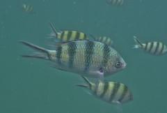 DSC09409 (andrewlorenzlong) Tags: fish swimming swim thailand snorkel snorkeling kohchang kohrang kohrangyai korangyai