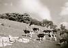 idyll (Timoleon Vieta II) Tags: old portrait england sky bw white black landscape cows natural harmony idyll timoleon