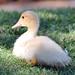 Baby Duck 1