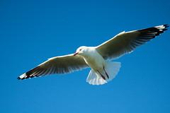 IMG_6320-2 (gsreejith) Tags: silvergull inflight birds birdinflight blue sky