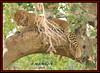 LEOPARD (Panthera pardus) ...MASAI MARA.....OCT 2015 (M Z Malik) Tags: nikon d3x 200400mm14afs kenya africa safari wildlife masaimara maraserena transmara exoticafricanwildlife exoticafricancats flickrbigcats leopard ngc npc
