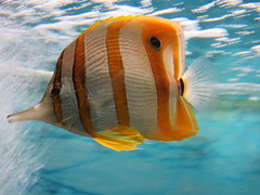 Stripy copperband butterfly fish at Kew Gardens (H. Smithers) Tags: stripy copperband butterfly fish kew gardens