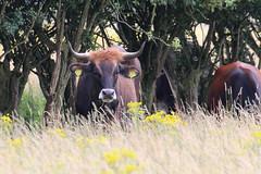 Tauros cattle roaming (ragingr2) Tags: brown nature animal fur cow furry cattle horns 11 horn maas 0011 natuurgebied eartag crossbreeding keent tauros