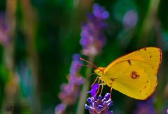 Saturacin (marcus turkill) Tags: butterfly mariposa summer verano nikon nikond3300 macrofotografia macro macrophotography nature naturaleza