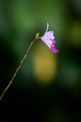 FS9A0069 (dSLRartist) Tags: canon ef70200mm f28l eos 5d mark3 orchid colours flowers sir happy joy nature