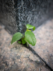 Life always find a way... (CeeKay's Pix) Tags: sprout plant green concrete life urban crack