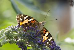 Schmetterling (U.Schweizer) Tags: d200 sigma 150macro