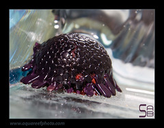 AMB4007-84colobocentrotus-atratus0623_240214 (kactusficus) Tags: aquarium trade reef marine colobocentrotus atratus echinoderm echinoderme oursin urchin carapace tortue helmet